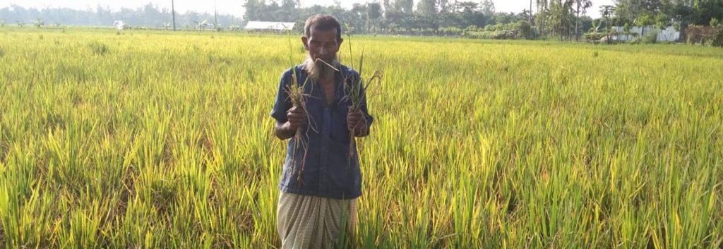 সুন্দরগঞ্জে আমন রোগ দুশ্চিন্তায় কৃষকরা